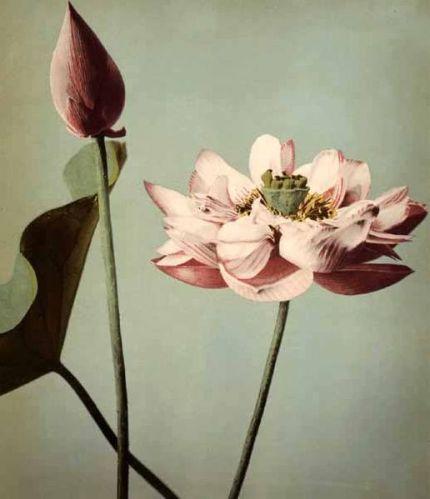 Lotus Flowers by Ogawa Kazumasa